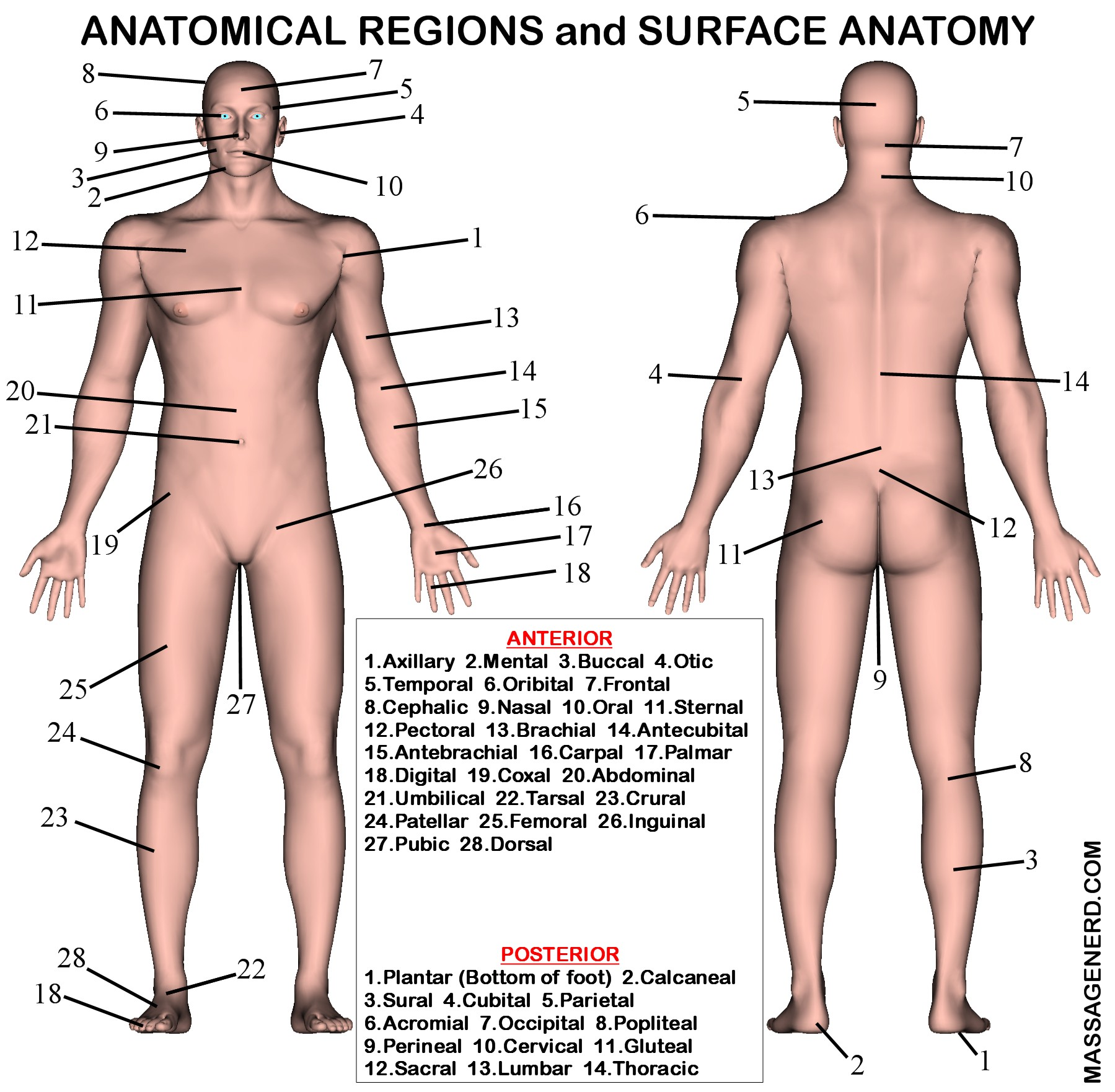 ANATOMY furthermore Anatomy Directional Terms As Applied To The Human Organism 3789888 moreover Index further Frog Muscle Diagram besides 17756. on dorsal and ventral cavities worksheet