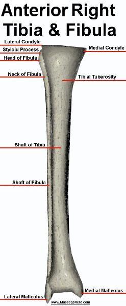 Anterior right tibia and fibula test