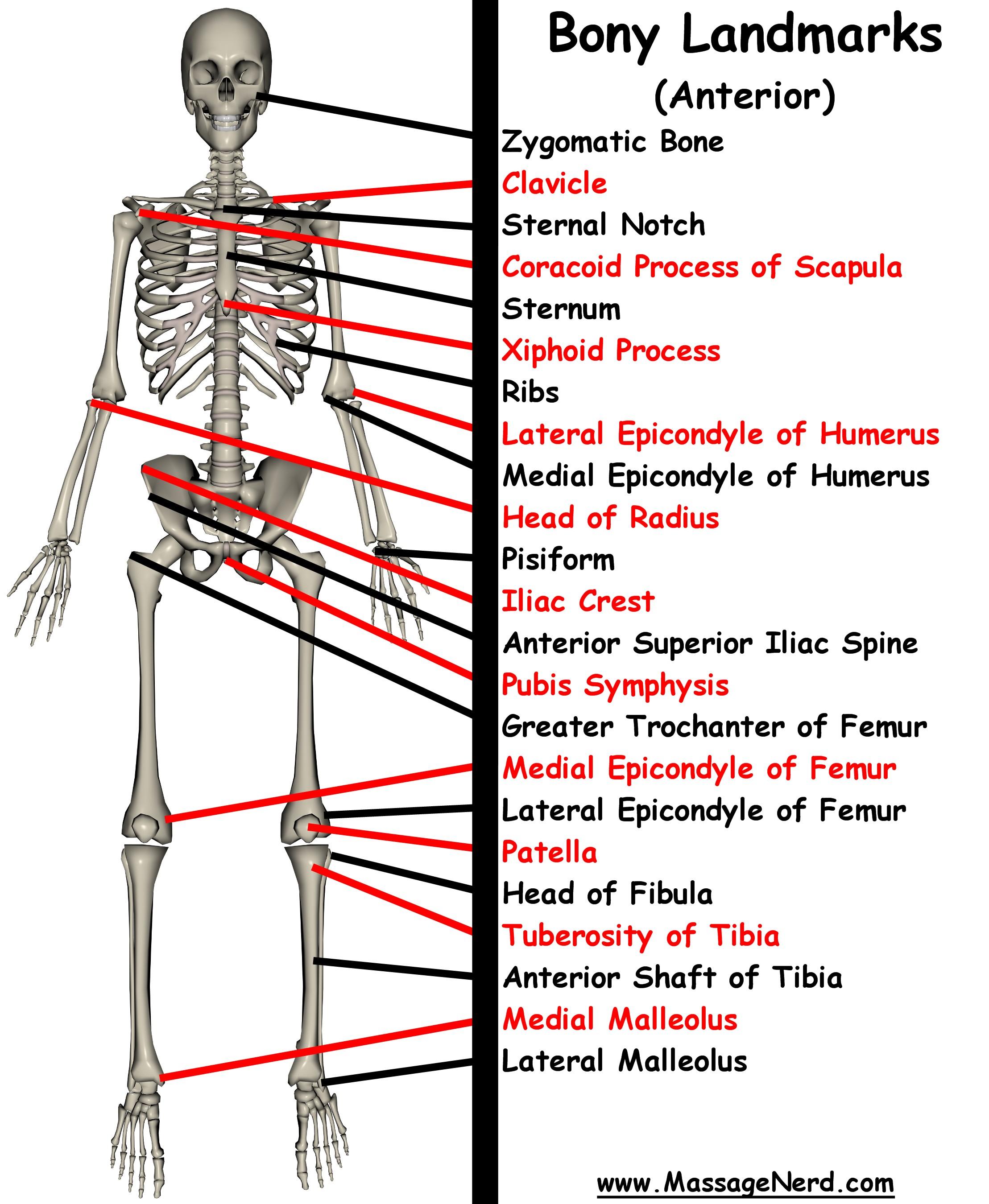 Surface anatomy landmarks human body 5594181 - follow4more.info